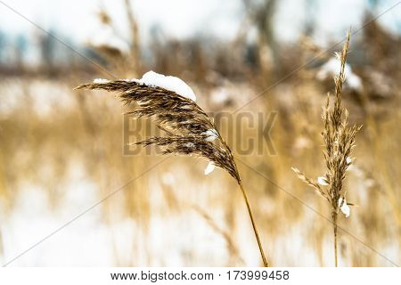 Reed Plumes Covered With Snow