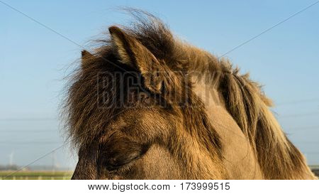 Dozing Icelandic horse on a midwinter sunny moment