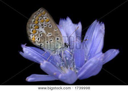 Azure And Chicory