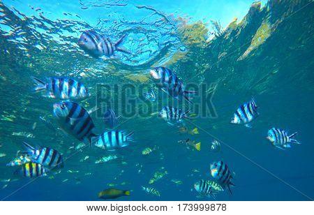 Dascillus tropical fish in blue sea water underwater photo. Exotic lagoon with ocean life. Coral reef ecosystem. Colorful aquarium fish. Black and silver striped dascillus fish swimming in sea water