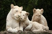 Female white lion with two newborn cubs. The white lions are a colour mutation of the Transvaal lion (Panthera leo krugeri), also known as the Southeast African or Kalahari lion. poster