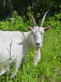 White goat in the high green grass poster