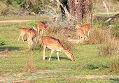 Sri Lankan axis deer Axis axis ceylonensis also called Ceylon spotted deer poster