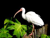 American, Ibis, Eudocimus albus, beautiful white topical bird standing on a wooden fence with black background. poster