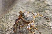 one of many varieties of crab that inhabit Fregate Island in the Seychelles. poster
