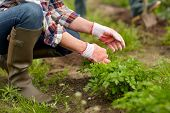farming, gardening, agriculture and people concept - senior woman weeding parsley on garden bed at summer farm poster