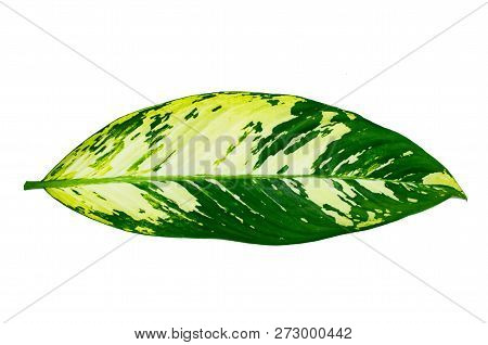 Leaves Calathea ornata pin stripe background White Isolate poster