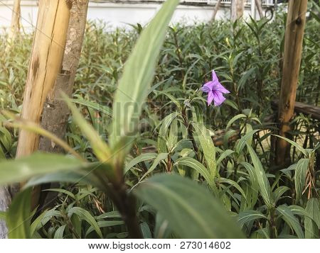 Purple Ruellia Tuberosa , Acanthaceae In Warn Light Concept