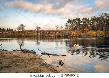 Mute Swan Swims Gracefully In A Lake Surrounded By Trees In Autumn Colors. The Photo Was Taken In Au
