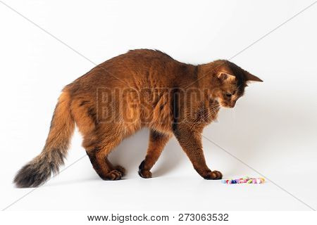 Somali Cat Ruddy Color On White Background
