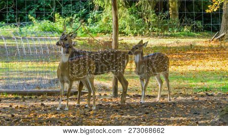 Spotted Deer Family Standing Together, One Stag And Two Does