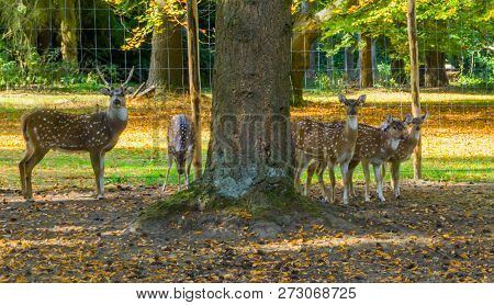 Family Of Spotted Deers Together, One Male And Multiple Females