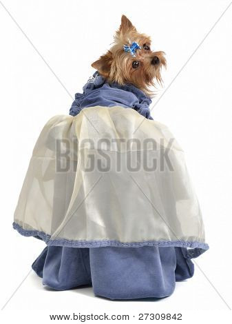 Cute dog with elegant dress, isolated