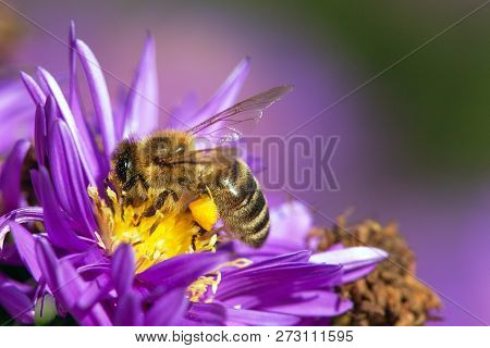 Detail Of Bee Or Honeybee In Latin Apis Mellifera, European Or Western Honey Bee Sitting On The Yell