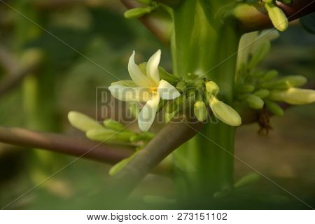A Close Of A White And Yellow Color Papaya ( Carca Papaya ) Flower With Some Buds And Stem Of The Pl