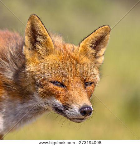 Red Fox Adorable Portrait