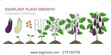 Eggplant Growing Process From Seed To Ripe Vegetables On Plants Isolated On White Background. Eggpla