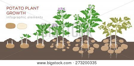 Potatoes Plant Growing Process From Seed To Ripe Vegetables On Plants Isolated On White Background.