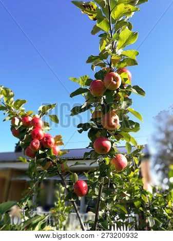 Ripe Apple On A Branch With Leaves. Isolated On Sky Background