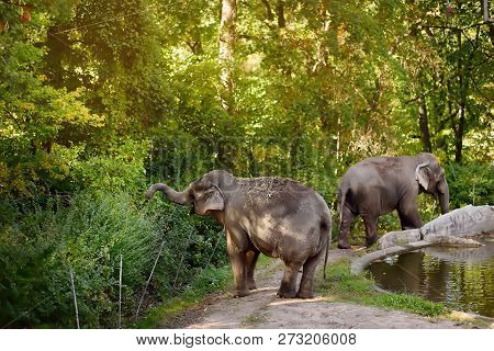 Elefants In Zoo. Wild Animals In Captivity.