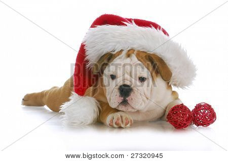 christmas puppy - adorable english bulldog puppy wearing santa hat on white background poster