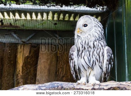 Ural owl sitting on a branch in closeup, a nocturnal predator from europe poster