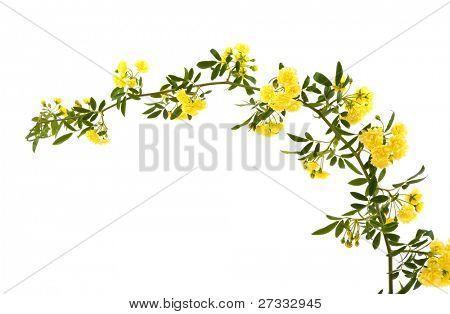 Beautiful small yellow roses