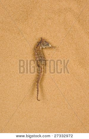 A dry seahorse on sand