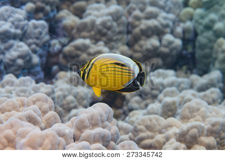 Exquisite Butterflyfish on Coral Reef in Red Sea of Dahab, Egypt