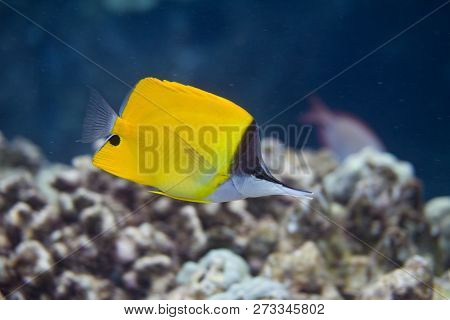 Common Longnose Butterflyfish On Coral Reef Off Puako, Big Island, Hawaii