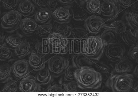 Roses Floral Background, Floristry. Rose Flowers With Purple Petals, Spring. Valentines Day, Love, R