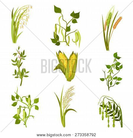 Flat Vector Sett Of Cereals And Legumes Plants. Agricultural Crop. Different Types Of Beans And Grai