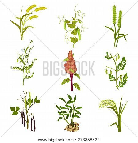 Flat Vector Set Of Cereals And Legumes Plants. Agricultural Crop. Farming Theme. Elements For Produc