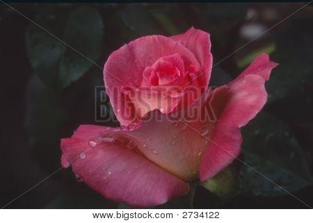 Flower-Rose (Scan From Velvia)