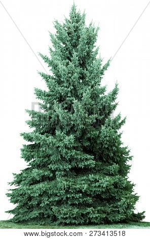 Christmas tree, isolated on white  background. Fir tree without decoration.