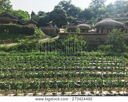 Growing Green Pepper In The Garden Near The Old Asian House In The Traditional Village, And Green Pe