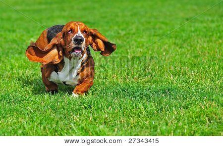 Basset Hound in motion