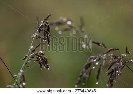 Close Up Of Fresh Thick Grass With Water Drops After The Rain. Dew Drops On Green Grass In Latvia. B