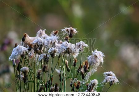 Wild Flowers. Deflorate Flowers. Rural Flowers On A Green Grass. Meadow With Rural Flowers. Wild Flo