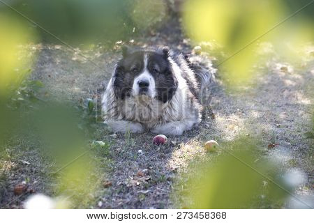 Adult Caucasian Shepherd Dog. Fluffy Caucasian Shepherd Dog Is Lying On The Ground.