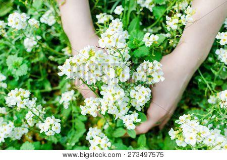 Sweet Alyssum Lobularia Maritima . White Flowers In Womens Hands