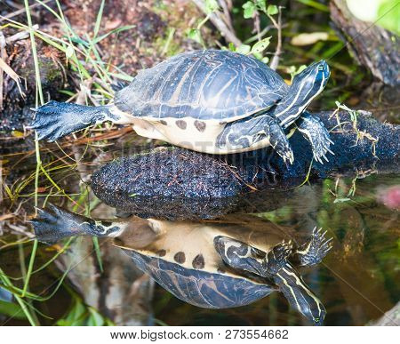 Close Up Of A Turtle, Apalone Ferox, Resting In The Florida Everglades.