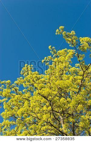 Flowering Maple