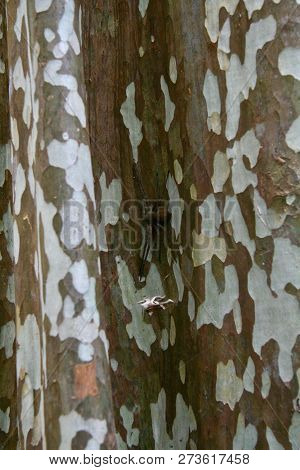 A Spider Hiding In The Fold Of A White Spotted Tree Trunk In The Jungles Of Cambodia