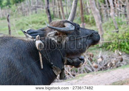 A Farmers Working Buffalo Standing Quietly On A Slope Waiting To Pull The Cart Up The Hill And Go To
