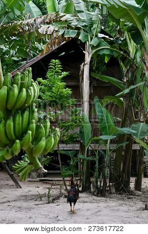 A Bunch Of Green Bananas With A Wooden Cambodian Shack In The Background Covered In Banana Trees