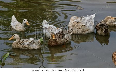 Happy White And Brown Speckled Ducks On A Pond Waiting To Be Fed