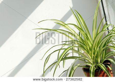 flower in pot: Chlorophytum comosum, which is used to Clean the formaldehyde Pollution in Indoor Air.