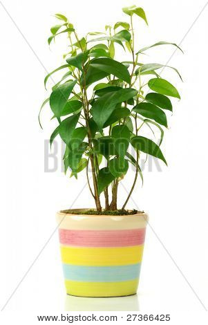 Plant with pot isolated