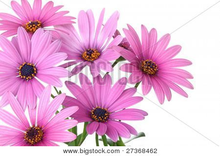 Pink daisy flower isolated on white background